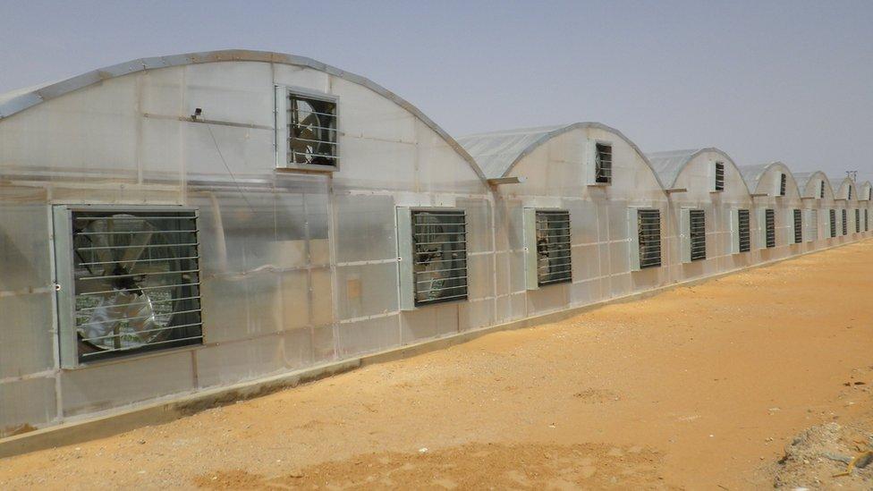 Japanska tehnologija za uzgajanje paradajza koristi se u Ujedinjenim Arapskim Emiratima/Mebiol